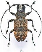 Acmocera inermis, ♀, Acmocerini, Gabon