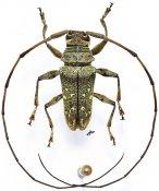 Acridoschema aberrans, ♂, Acmocerini, Cameroon