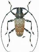 Acridoschema capricorne convexum, ♂, Acmocerini, Cameroon