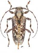 Aegoschema barnouini, ♀, Acanthoderini, French Guiana