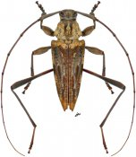 Anisopodus hamaticollis, ♂, Acanthocinini, Nicaragua