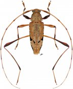 Anisopodus hiekei, ♂, Acanthocinini, Nicaragua
