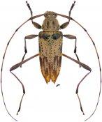 Anisopodus scriptipennis, ♂, Acanthocinini, Nicaragua