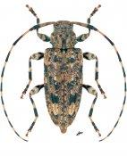 Astyleiopus variegatus, ♀, Acanthocinini, Continental United States