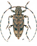 Astyleiopus variegatus, ♀, Acanthocinini, North East United States