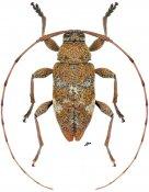 Atrypanius cretiger, ♂, Acanthocinini, Nicaragua