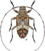 Atrypanius implexus ♀, Acanthocinini, Nicaragua