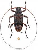 Atrypanius sp., ♂, Acanthocinini, French Guiana