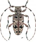 Azygocera picturata, ♂, Acanthoderini, Chile
