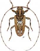 Baryssinus chemsaki ♂, Acanthocinini, Nicaragua