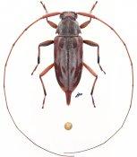 Eucharitolus dorcadioides, ♀, Acanthocinini, French Guiana