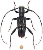 Eugrapheus lineellus, ♂, Acanthocinini, Madagascar