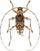 Eutrypanus mucoreus, ♂, Acanthocinini, Nicaragua