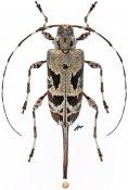 Granastyochus trifasciatus, ♀, Acanthocinini, Colombia