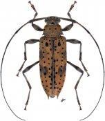 Anisopodus argus, ♀, Acanthocinini, Nicaragua
