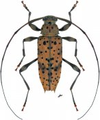 Anisopodus argus, ♂, Acanthocinini, Nicaragua