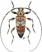 Jordanoleiopus africanus, ♂, Acanthocinini, Gabon