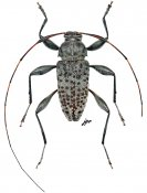 Jordanoleiopus multinigromaculatus, ♂, Acanthocinini, Gabon