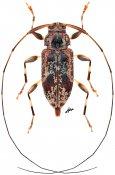 Jordanoleiopus pantosi, ♀, Acanthocinini, Gabon