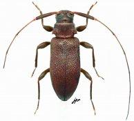 Jordanoleiopus unicolor, ♂, Acanthocinini, Gabon