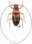 Jordanoleiopus rubrofemoralis, ♀, Acanthocinini, Gabon
