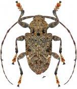 Lagocheirus binumeratus ♂, Acanthocinini, Nicaragua