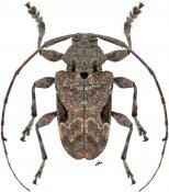 Lagocheirus integer, ♂, Acanthocinini, Nicaragua
