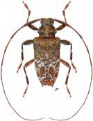Leptocometes acutispinis ♂, Acanthocinini, Nicaragua