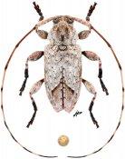Leptostylus cretatellus, ♂, Acanthocinini, Quintana Roo