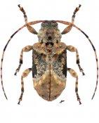 Leptostylus laevicauda laevicauda, ♀, Acanthocinini, Nicaragua