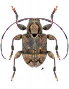 Leptostylus pilula ♂, Acanthocinini, Nicaragua