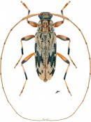 Lepturges angulatus, ♀, Acanthocinini, Continental United States