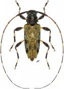 Lithargyrus melzeri, ♀, Acanthocinini, Nicaragua