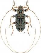 Macronemus asperulus ♀, Acanthoderini, Nicaragua