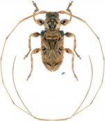 Macronemus asperulus ♂, Acanthoderini, Nicaragua
