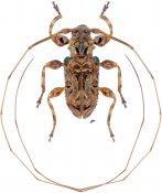 Acanthoderini • Macronemus asperulus • ♂