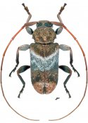 Nesozineus kawensis, ♂, Acanthoderini, French Guiana