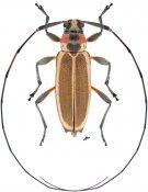 Stenolis roseicollis, ♀, Acanthocinini, Nicaragua