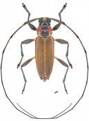 Stenolis roseicollis, ♂, Acanthocinini, Nicaragua