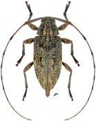 Atrypanius haldemani, ♀, Acanthocinini, Nicaragua