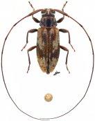 Nyssodrysternum sp., ♀, Acanthocinini, French Guiana