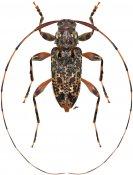 Onalcidion fibrosum, ♀, Acanthocinini, French Guiana