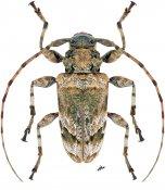 Oreodera sp., ♀, Acrocinini, Nicaragua