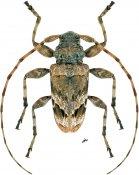 Oreodera sp., ♂, Acrocinini, Nicaragua