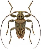 Oreodera inscripta ♂, Acanthoderini, Nicaragua