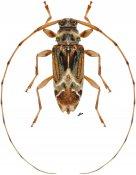 Ozineus arietinus ♀, Acanthocinini, Nicaragua