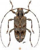 Paralcidion bilineatum, ♀, Acanthocinini, Colombia
