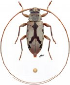 Paroecus sp., ♀, Acanthocinini, Panama
