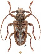 Plistonax albolinitus, ♀, Acanthoderini, French Guiana