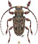 Plistonax rafaeli, ♂, Acanthoderini, French Guiana